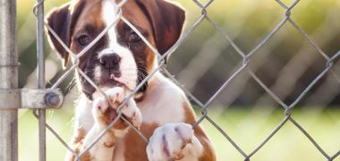 Dog behind a chain link fence
